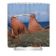 Fighting Walrus Shower Curtain