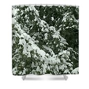 Fir Tree Branch Covered With Snow  Shower Curtain