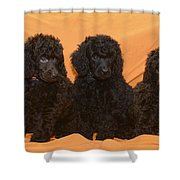 Five Poodle Puppies  Shower Curtain