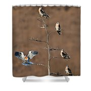 Five White-tailed Kite Siblings Shower Curtain