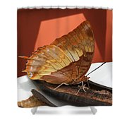 Flame-bordered Charaxes Butterfly #2 Shower Curtain