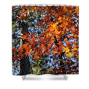Flaming Maple Beneath The Pines Shower Curtain