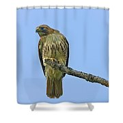 Fledged Red Tailed Hawk Shower Curtain