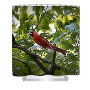 Flight Of The Cardinal Shower Curtain