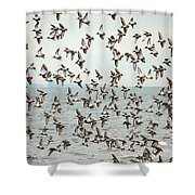 Flock Of Dunlin Shower Curtain by Karol Livote