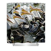 Flock Of Pelicans In Water, Galveston Shower Curtain