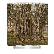 Florida Rubber Tree, C1900 Shower Curtain