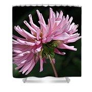 Flower-pink Dahlia-bloom Shower Curtain
