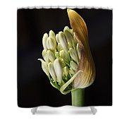 Flower-white-agapanthus-bud Shower Curtain