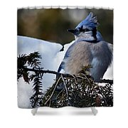 Fluffy Blue Jay Shower Curtain