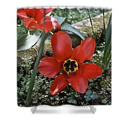 Fosteriana Tulips Red Emperors Shower Curtain