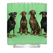 Four Dobermans Sitting Down Shower Curtain