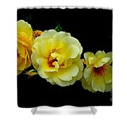 Four Stages Of Bloom Of A Yellow Rose Shower Curtain