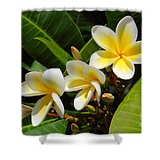 Four Summer Frangipanis Shower Curtain