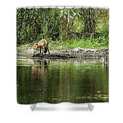 Fox At Water Hole Shower Curtain