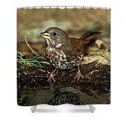 Fox Sparrow Drinking Shower Curtain