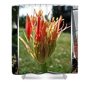 From Bud To Bloom - African Blood Lily Shower Curtain