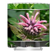 From Bud To Bloom - Bee Balm Named Panorama Pink Shower Curtain