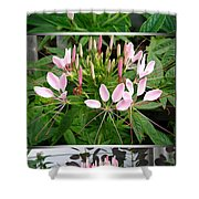 From Bud To Bloom - Cleome Named Pink Queen Shower Curtain