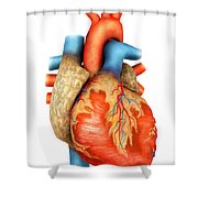 Front View Of Human Heart Shower Curtain by Stocktrek Images