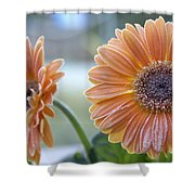 Frosted Gerberas Shower Curtain