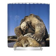 Galapagos Giant Tortoise Mating Alcedo Shower Curtain