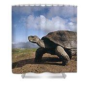 Galapagos Giant Tortoise On Alcedo Shower Curtain