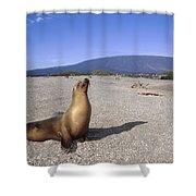 Galapagos Sea Lion Juvenile On Beach Shower Curtain