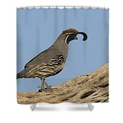 Gambels Quail Male Santa Rita Mts Shower Curtain