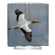 Gannet In Flight Shower Curtain