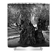 Garden Of Gethsemane Olive Tree Shower Curtain