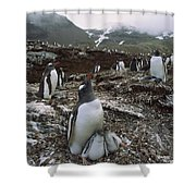 Gentoo Penguin And Chicks South Georgia Shower Curtain
