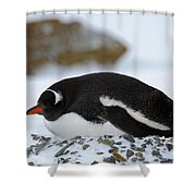 Gentoo Penguin On Nest Shower Curtain