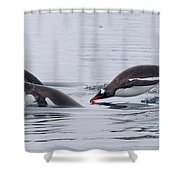 Gentoo Penguins Porpoising Paradise Bay Shower Curtain
