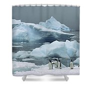 Gentoo Penguins With Icebergs Antarctica Shower Curtain