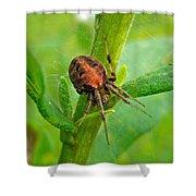Genus Araneus Orb Weaver Spider - Brown And Orange Shower Curtain