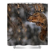 George Eating Maple Seeds In Winter Shower Curtain