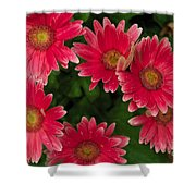 Gerber Daisies Cluster Shower Curtain
