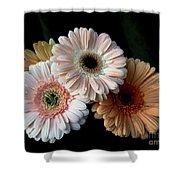Gerbera Daisy   7302 Shower Curtain