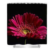 Gerbera Daisy 2 Shower Curtain