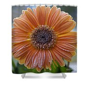Gerbera Daisy Covered In Frost Shower Curtain