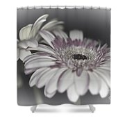 Gerbera Dream 1 Shower Curtain