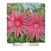 Gerbera Jamesonii / Pink Daisy Flowers Shower Curtain