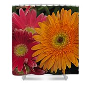 Gerbera Shower Curtain