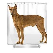 German Or Standard Pinscher Shower Curtain