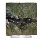 Giant Anteater And  Young In Cerrado Shower Curtain