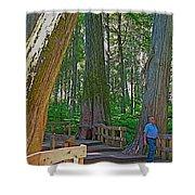 Giant Cedar Grove On Giant Cedars Trail In Mount Revelstoke Np-bc Shower Curtain