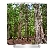 Giant Cedars On Trail Of The Cedars In Glacier Np-mt Shower Curtain