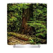 Giant Douglas Fir Trees Collection 3 Shower Curtain