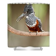 Giant Kingfisher Megaceryle Maxima Shower Curtain